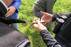 Female Slow-worm  (Anguis fragilis)