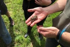 Juvenile Common Toad (Bufo bufo)