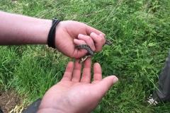 Juvenile Grass Snake  (Natrix  helvetica)