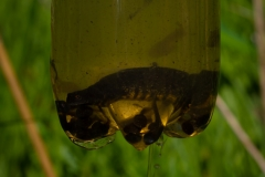 Female Great Crested Newt (Triturus cristatus) & Common Frog Tadpoles (Rana temporaria) caught in bottle trap.
